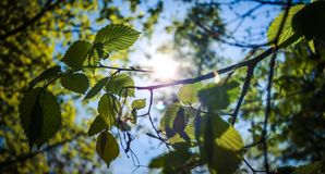 The rays of the sun penetrate through the spring foliage. Spring flowers blossom. Blurred background.nn royalty free stock photos