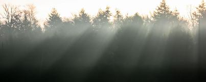 Rays of Sun in the Pines Royalty Free Stock Image