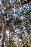 Rays of the sun shine through a dense pine forest Stock Image