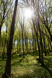 Rays of sun in spring forest Royalty Free Stock Photography
