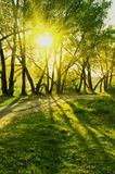 Rays of sun in summer forest. Bright rays of sun in deep summer forest Royalty Free Stock Images