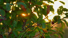 The rays of the sun at sunset through the green leaves of autumn stock video