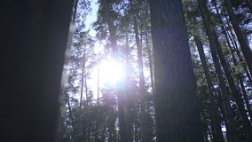 The rays of the sun among the tall trees stock footage