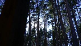 The rays of the sun among the tall trees stock video