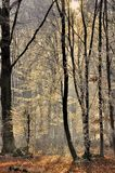 Rays of the sun in winter forest Stock Image