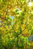 Rays of sun among the yellowing autumn leaves Royalty Free Stock Photography