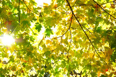 Rays of sun among the yellowing autumn leaves Stock Photo