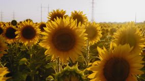 Rays, Sunflower Flowers Grow on the Field, Sway in the Wind