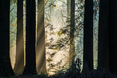 Rays of sunlight in an autumn forest Stock Photography