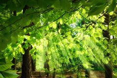 Rays of sunlight falling through leaves Stock Photo