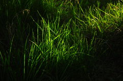Grass on black. A ray of sunlight lighting up some green grass leaves. Can be used as a background Royalty Free Stock Photography