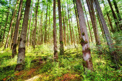 Rays of sunlight through old trees of evergreen primeval forest Royalty Free Stock Images
