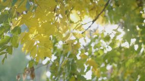 Rays of sunlight shining over a tree branch with yellow leaves shaken by an animal on an autumn day -. Rays of sunlight shining over a tree branch with yellow stock video