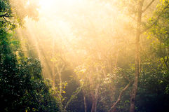 Rays of sunlight with trees. Rays of sunlight falling in between trees in a forest at dawn. Shows the beauty of the outdoors Royalty Free Stock Images