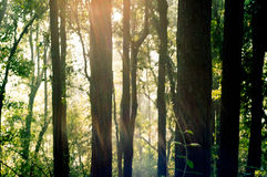Rays of sunlight with trees. Rays of sunlight falling in between trees in a forest at dawn. Shows the beauty of the outdoors Stock Photos