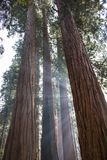 Rays of Sunlight Through Trunks of Giant Sequoia Redwood Trees i. Beams of sunlight pierce through towering Giant Sequoia Redwood trees in California forest stock photo