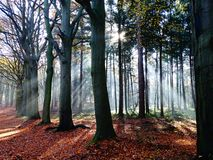 Rays of sunshine througt forest trees 2 royalty free stock images