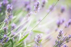 Rays trädgårds- bakgrund för sommar med lavendel och solen, banerwebsiten med att arbeta i trädgården begrepp Royaltyfria Bilder