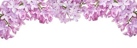 Rayure d'isolement des fleurs lilas légères Photo libre de droits