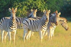 Rayures de zèbre - fond de faune d'Afrique - regard fixe des rayures iconiques Photos stock