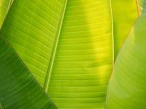 Rayures des feuilles de banane images libres de droits