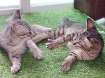 Rayures noires et blanches de cheveux courts de jeunes chats asiatiques mignons de chaton Photos stock