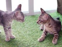 Rayures noires et blanches de cheveux courts de jeunes chats asiatiques mignons de chaton Images stock