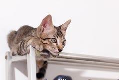 Rayures noires et blanches de cheveux courts de jeunes chats asiatiques mignons de chaton Photo libre de droits