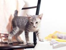 Rayures noires et blanches de cheveux courts de jeunes chats asiatiques mignons de chaton Image libre de droits