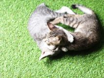 Rayures noires et blanches de cheveux courts de jeunes chats asiatiques mignons de chaton Photo stock