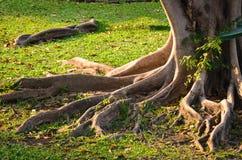 Raíz del árbol Foto de archivo