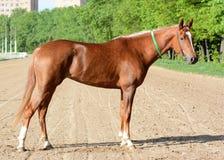 Raza árabe de la yegua roja del caballo de carreras Fotografía de archivo