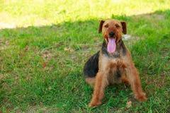 Raza Airedale del perro fotografía de archivo libre de regalías