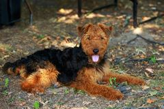 Raza Airedale del perro fotos de archivo libres de regalías