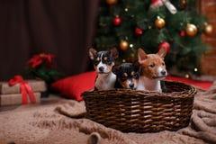 Raza Basenji del perrito, la Navidad y Año Nuevo Imágenes de archivo libres de regalías