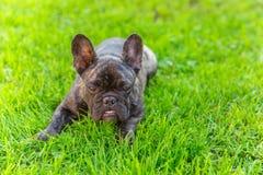 Raza berrenda linda del dogo francés del perro nacional Fotos de archivo libres de regalías