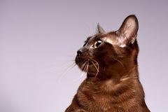 Raza Birmania del gato en un fondo ligero foto de archivo libre de regalías