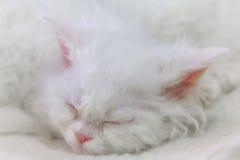 Raza blanca Selkirk Rex del gatito el dormir Foto de archivo