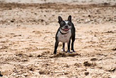 Raza Boston Terrier del perro fotografía de archivo