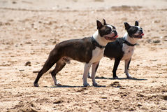 Raza Boston Terrier del perro Imagen de archivo