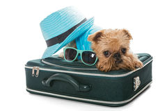 Raza Bruselas Griffon del perro y maleta Fotos de archivo libres de regalías