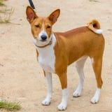 Raza de Basenji del perro de caza Imágenes de archivo libres de regalías