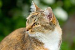 Raza de Cat European Fotos de archivo libres de regalías