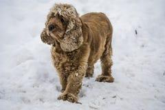 Raza de Cocker Spaniel del perro en la nieve imagen de archivo libre de regalías