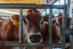 raza de la lechería de las vacas del jersey que come el forraje del heno en som de la granja del establo fotografía de archivo