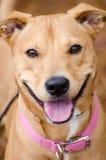 Raza de la mezcla de Vizsla del laboratorio, cuello rosado, retrato de la adopción Foto de archivo