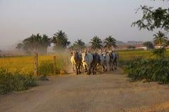 Raza de la vaca de Amritmahal, Hampi en un camino de tierra, Karnataka, la India fotos de archivo