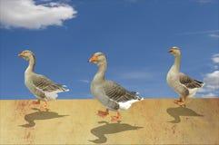 Raza de los gansos en desierto Fotos de archivo libres de regalías