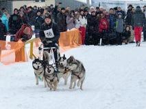 Raza de perro de trineo en Járkov, Ucrania fotografía de archivo