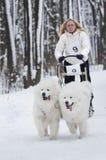 Raza de perro de trineo en Járkov, Ucrania Foto de archivo libre de regalías